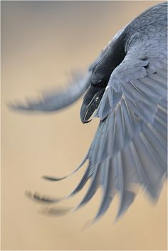 "Beautiful shot of a raven in flight. Tuft of feathers on beak, shimmer in feathers, pointed wings, appears to be raven (rather than crow) sized, with a curved (rather than crow's straight) beak, but I don't know if ravens ever have a hooked beak. The photographer reports the ""gluck"" sound of a raven (not the ""caw"" of a crow)."