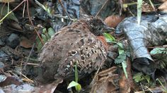 spotted_buttonquail_released.JPEG (1920×1080)