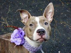 TO BE DESTROYED 11/22/13 Manhattan Center -P SUNY #A0984752  Female gr brindle & white pit bull mix  OWNER SUR 11/12/13 This is basically a puppy @ 9 MTHS!!! Friendly to children, very playful w/ her masters. She is a fantastic lap dog, loves to be kissed, hugged & played w/. Behaves on leash, partially house trained. Sit & stay on command. Suny needs training in the hands of a master who will make her feel loved & secure, teaching her boundaries that will make her a wonderful pet and…