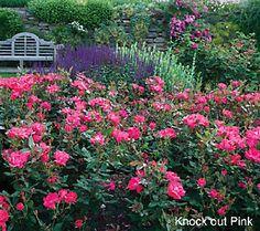 49 best roses images flowers heirloom roses blooming plants rh pinterest com
