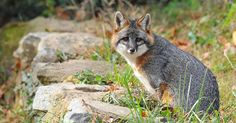 Maymont's gray fox Cane passes after 14 years of delighting visitors – WTVR.com