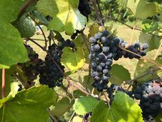 Red grapes ready to harvest