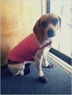 Earleen the beagle with her win tree r coat and boots. © Jing Geng