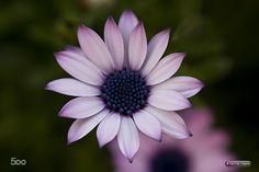 Spanish Daisy by Hennie Clarijs