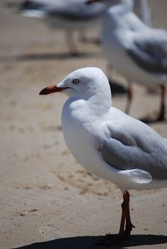 Seagulls on Goolwa Beach, South Australia