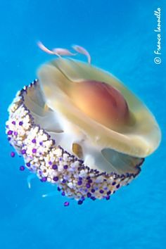 Fried Egg Jellyfish in Sicily, Italy