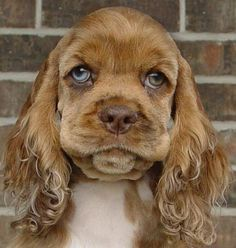 A wise looking Cocker Spaniel
