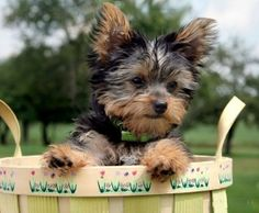 Adorable Terrier Puppy   --------------------------COME OUT, COME OUT WHERE EVER YOU ARE!