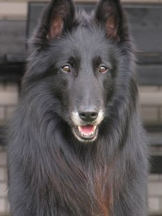 Belgian Groenendael, a dog that is included in the Belgian Shepherd breed. In the United States it is generally recognized under the name Belgian Sheepdog Big Dogs, I Love Dogs, Cute Dogs, Dogs And Puppies, Belgian Shepherd, Shepherd Dog, Belgian Dog, Beautiful Dogs, Animals Beautiful
