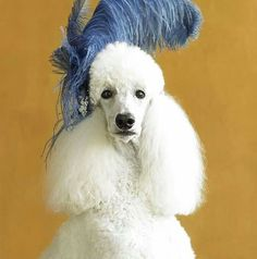"""My Diva Dog Feather Model of the Day """"Prissy"""" :)"""