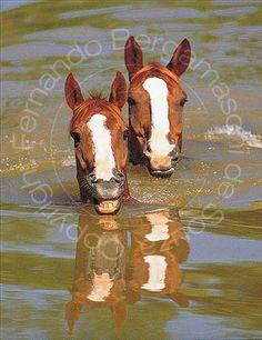Smile! You are in the army now!  Couple of horses swiming in pond. - Cavalos nadando em açude., via Flickr.  Photo taken at Academia Militar de Agulhas Negras, Rezende, Rio de Janeiro, Brazil.