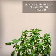 pianta di basilico | basil | orto | spezie | cucina italiana Cooking Together, Parsley, Herbs, Food, Essen, Herb, Meals, Yemek, Eten