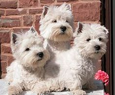 3 Westies like us. (three is the magic number)