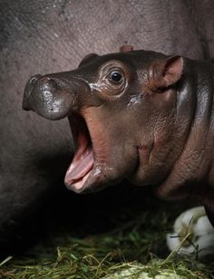 Baby Hippopotamus Wallpaper