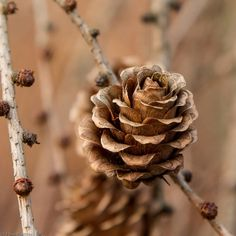 fall autumn...pinecone...a perfect rose