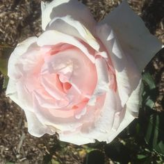 Pink roses at new farm park Brisbane.  #gardens  #landscape  #summer #flowerstagram  #nature  #flowers #gardening  #trees  #blooms  #floral  #green #vegan #pond  #plants #botanical  #flowergarden #sculptures  #roses  #Brisbane  #vegetables #Flowerchild #cloud