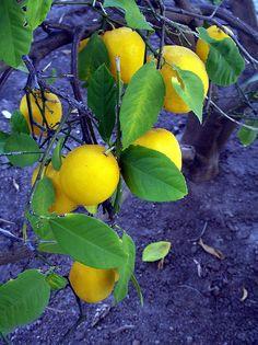 When Life Gives You Lemons by ampresco, via Flickr Lemon Head, Colour Contrast, Lemon Lime, Fruit Trees, View Image, Lemonade, Still Life, Yellow
