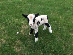 This beautiful little guys name is Easter! He is one of our miniature harlequin sheep. He is for sale too and was born March 24, 2016. #spottydottyacres https://sites.google.com/site/spottydottyacres/