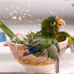 """Bathing Parrot 