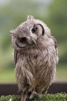 http://www.cutestpaw.com/images/flirty-owl/