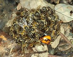 """When confronted with their arch-enemy, the aggressive giant Asian hornet, the honeybees will attack it by swarming en masse around the hornet and forming what scientists call a ""hot defensive bee ball"" - a move unique to their species.    With up to 500 bees all vibrating their flight muscles at once, the bee ball cooks the hornet to death."""