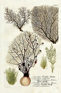 the white hotel — Johann Weinmann, Corallina, Corallen Illustration Botanique, Botanical Illustration, Science Illustration, Nature Illustrations, Nature Prints, Patterns In Nature, Botanical Prints, Botanical Wallpaper, Fauna