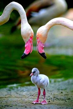 Keeping a close eye on their adorable baby Flamingo!have loved Flamingos forevah. Pretty Birds, Beautiful Birds, Animals Beautiful, Love Pictures, Animal Pictures, Adorable Pictures, Amazing Pictures, Photo Animaliere, Tier Fotos