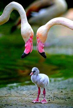 птенец фламинго