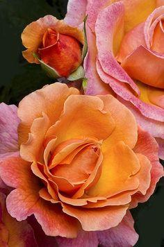 ~Hybrid Tea Rose 'Tahitian Sunset'