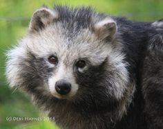 Raccoon Dog - Bing Images