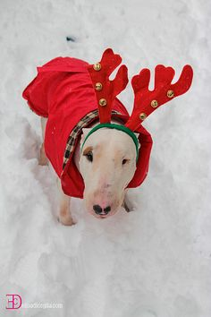 another #Christmas #Bullterrier #English #Bull #Terrier #Dog #DogCostume #FunnyDog #HalloweenCostume