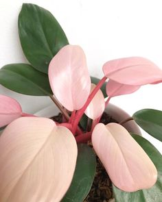 philodendron pink congo - # Vérifiez plus sur . - philodendron pink congo – # Vérifiez plus sur … - Succulents Garden, Garden Plants, Planting Flowers, Vegetable Garden, Foliage Plants, Cactus Plants, Cactus Art, Cactus Flower, Flowering Plants