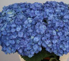 Hydrangea_Bela Blauw 60cm Hydrangea Flower, Hydrangeas, Flowers, Hydrangea Macrophylla, Blueberry, Fruit, Berry, Royal Icing Flowers, Flower