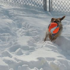 This Pup loves, loves loves playing in the snow...I love her..