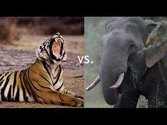Wild Animal Fights 2016 | Tigers VS Elephant And Elephant's Kill Buffalo...