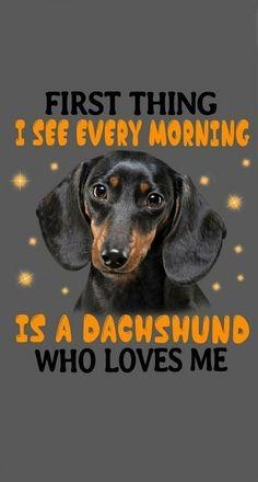 Dachshund miniature dachshund, dachshund art, puppy humor Dachshund miniature dachshund, dachshund art, puppy humor Source by jessjarm Dachshund Breed, Dachshund Funny, Dachshund Quotes, Arte Dachshund, Long Haired Dachshund, Mini Dachshund, Daschund, Dachshund Drawing, Cream Dachshund