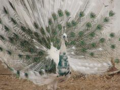 india blue pied peafowl | back to main Peafowl Photo Gallery page