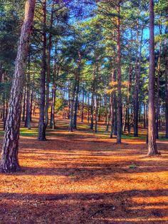 Woodlands at Frensham, Surrey.