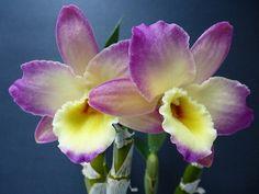 ~~ Dendrobium Orchid ~~