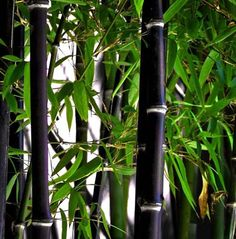 Black Bamboo - for true privacy this bamboo will add rich color with green leaves for a dramatic effect.