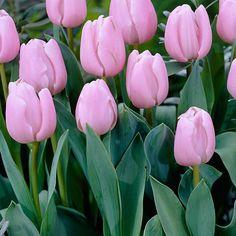 Tulppaani Pink Diamond - Viherpeukalot