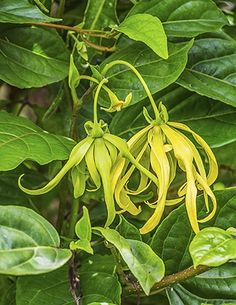 Ylang Ylang is known for its unique relationship to the heart and its ability to slow a rapid heart beat. It offers positive results in reducing anxiety. #EssentialOils #HolisticHealth #Aromatherapy