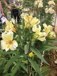 Gele Alstroemeria's / Yellow Alstroemeria's