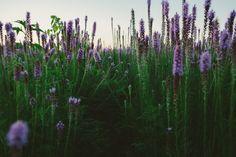 Purple Field. | Flickr - Photo Sharing!