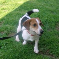 Tacey is an adoptable Beagle Dog in Pittsburgh, PA. Hi all, my name is Tacey, I am a beagle and Jack Russell mix. What the heck does that mean, you say? Well you have the cutest, sassy gal around. I a...
