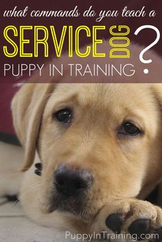 What Commands Do You Teach A Service Dog Puppy In Training?