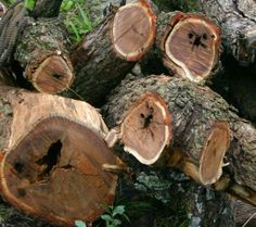 Buzz Blog: Tree Acoustics Identify Rot and Decay