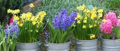 Palmers have all your advice and inspiration on how to grow bulbs in containers. Pop in store for all your favourites including daffodils and freesias. Planting Bulbs In Spring, Planting Tulips, Spring Bulbs, Palmers Garden Centre, Iris Reticulata, Grow Bulbs, Dutch Iris, Large Containers, Garden Soil