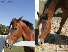 """Has your horse turned from """"Happy Harry"""" into """"Grumpy Gus""""? Ulcers could be to blame. In fact, an estimated 60-90% of performance horses have ulcers. Luckily, there are ways you can help your horse!    During a recent study at Louisiana State University, SmartGut Ultra was clinically proven to maintain stomach health in stressed horses after treatment. Learn more and add SmartGut Ultra to your horses SmartPaks today! (http://www.smartpakequine.com/smartgut-ultra-pellets--10990p.aspx)"""
