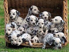 Dalmatian Puppies ❤️
